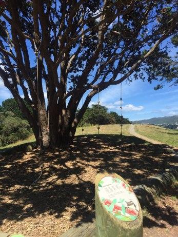 Climbing ropes on a pohutakawa tree
